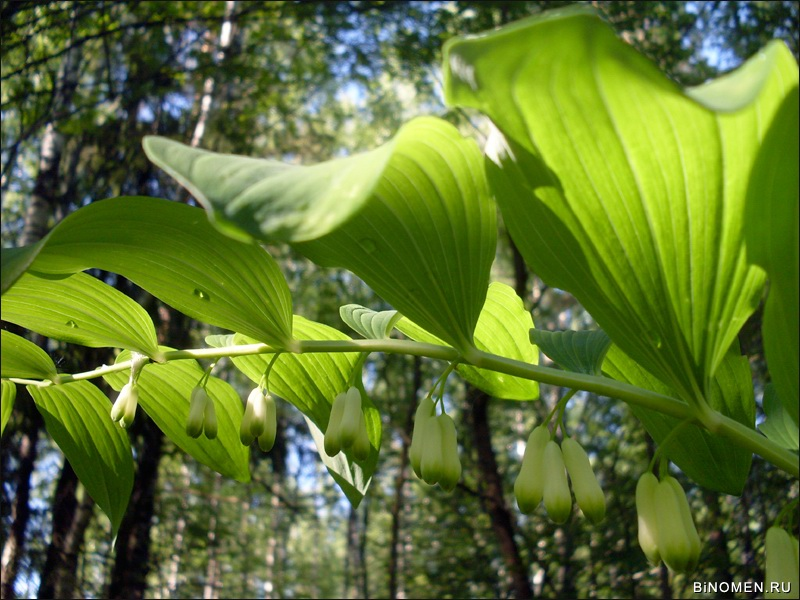 Купена многоцветковая Polygonatum multiflorum
